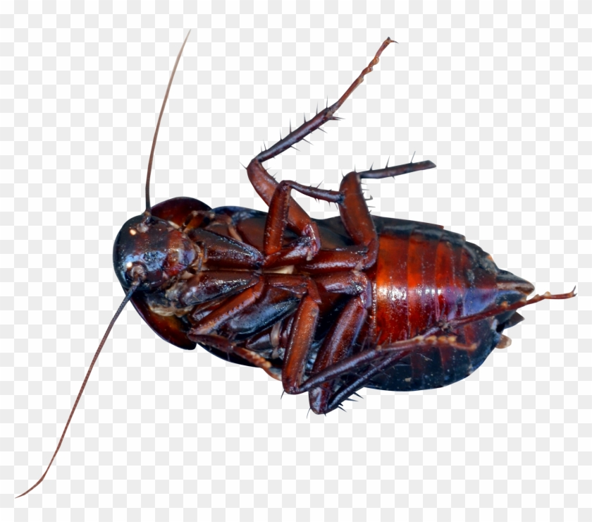 This High Quality Free Png Image Without Any Background - Cockroach Png #1633165