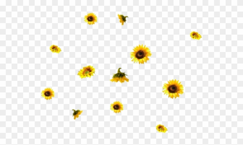 576 X 481 23 - Transparent Png Sunflower Overlay - Free Transparent