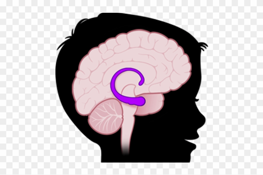 Brains Clipart Amygdala - Hippocampus In Brain Png #1697764