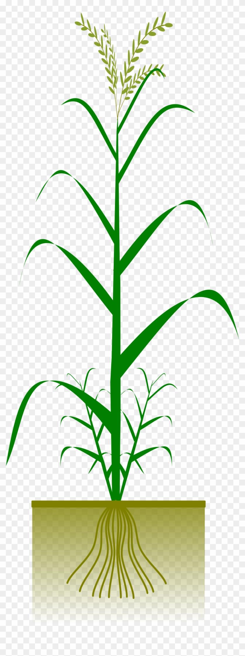 Maize Plant #260006