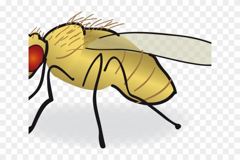 Fly Clipart Drosophila Melanogaster Fruit Fly Drawing Free