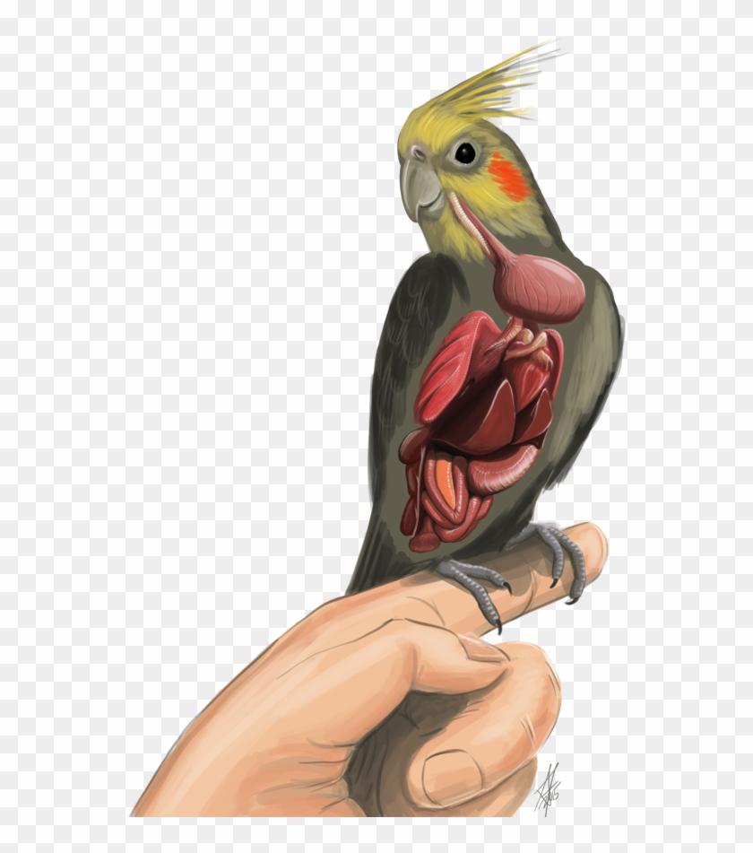 Anatomy Of A Cockatiel Bird Clip Art Internal By Haliaeetus123 ...