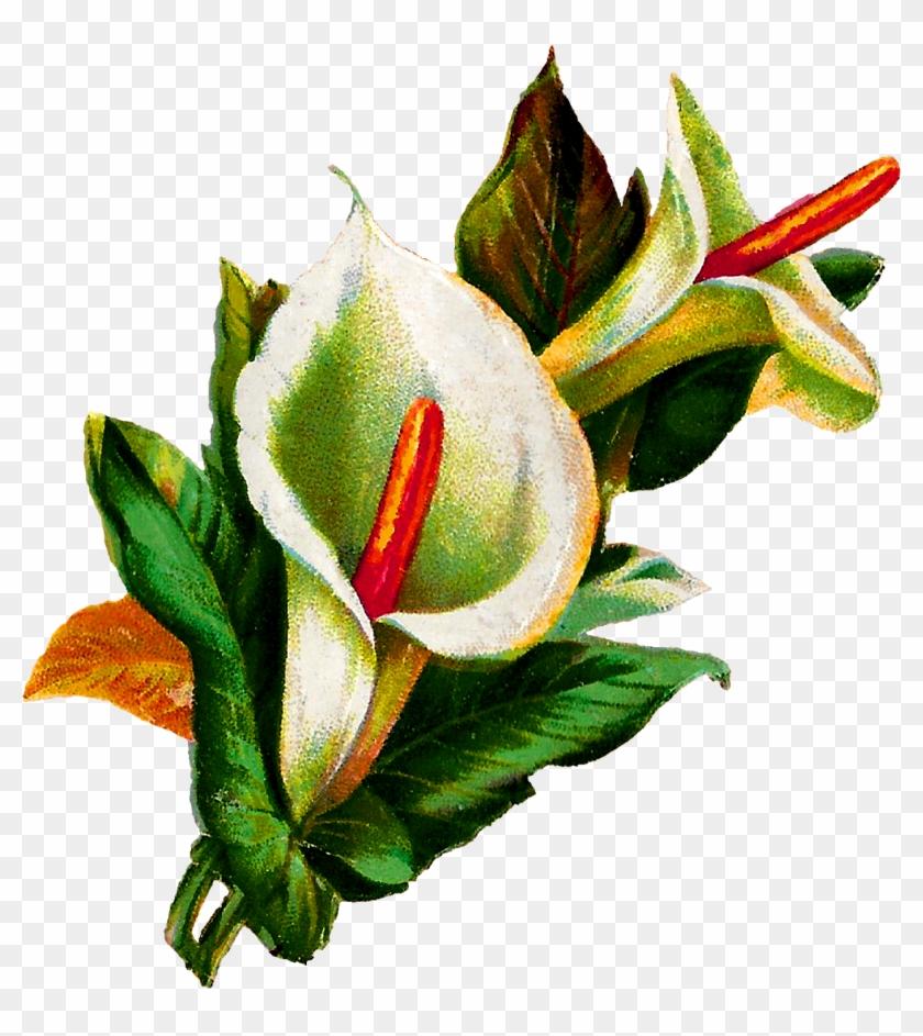 Flower Calla Lily Digital Clipart Download Botanical - Calla Lily Botanical Illustration #271852