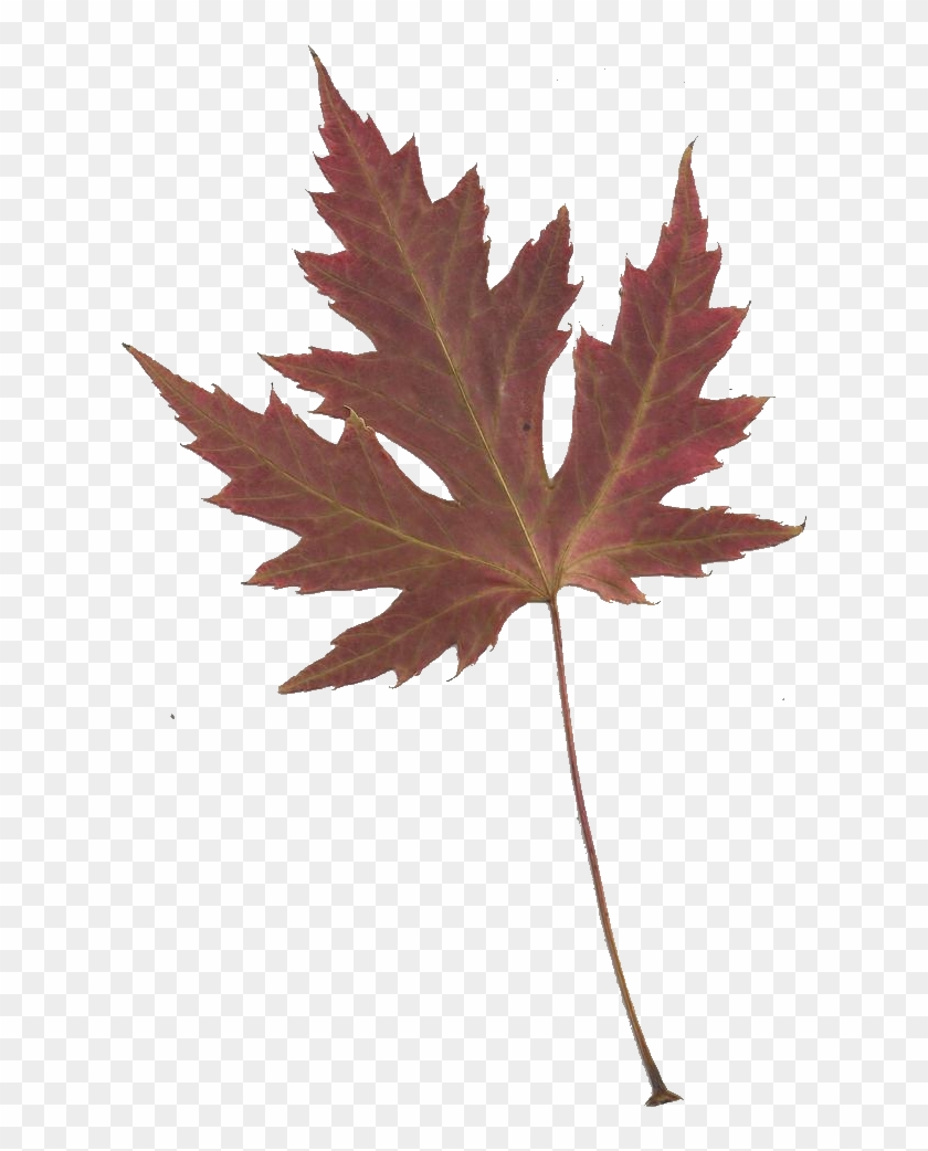 Leaping Frog Designs - Japanese Maple Leaf Transparent #271945