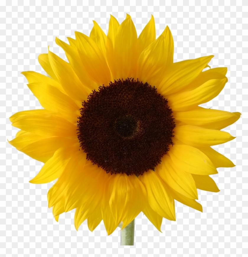 Sunflower - 14 - Sunflower Vector #272016