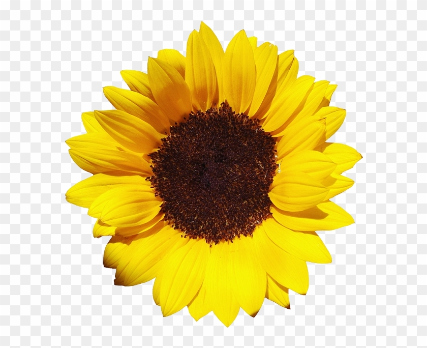 Free Download Of Sunflower Icon Clipart - Sunflower Png #272019
