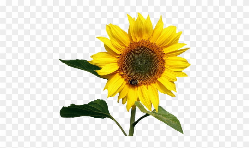 Sunflowers Png Transparent Images - Transparent Background Sunflower Png #272032