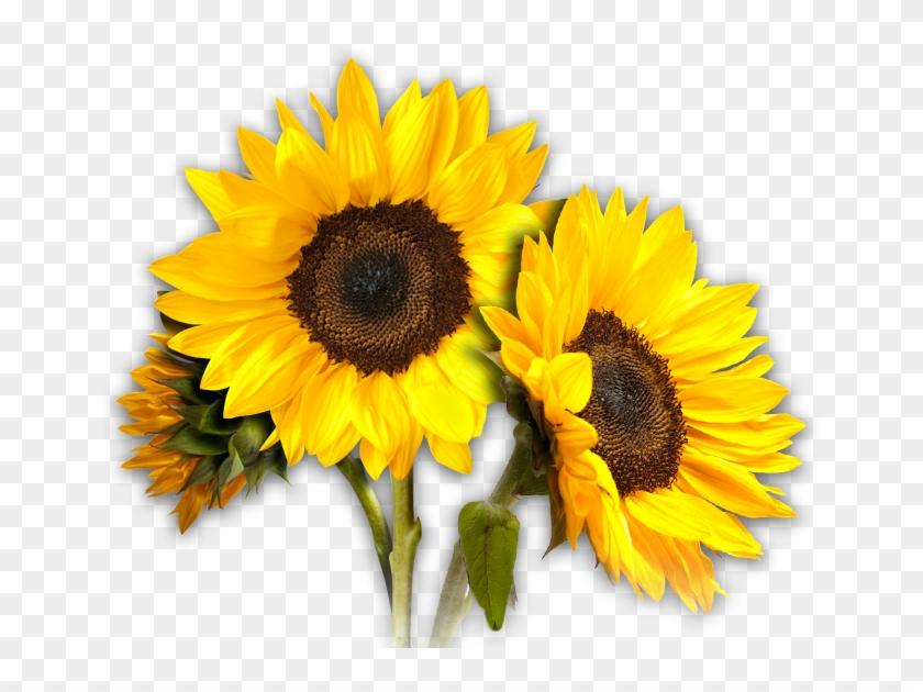 Sunflower Clipart Sunflower Clipart Pics - Sunflower Transparent #272034