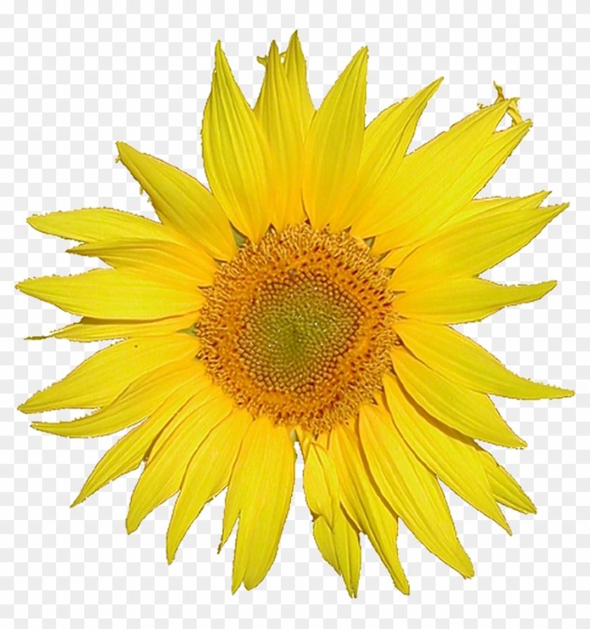Description Mediawiki Logo Sunflower Tournesol 5x Png - Sunflower White Background #272059