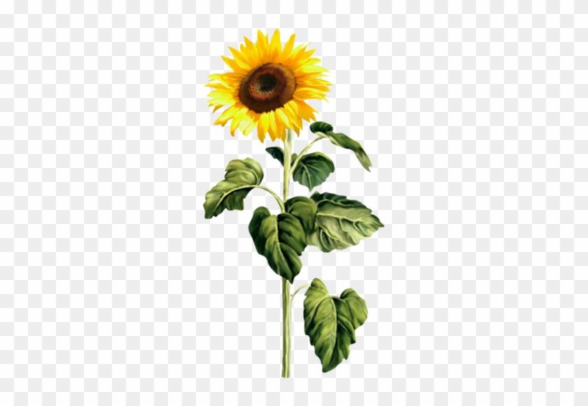 24 Sunflower Stem Png Free Transparent Png Clipart Images Download Sunflower png images free download. 24 sunflower stem png free