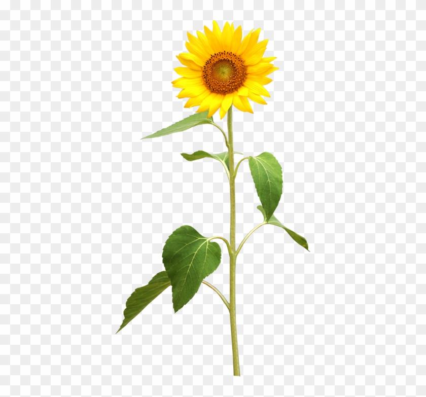 Common Sunflower Plant Stem Stock Photography - Excellent Shop Sunflowers Butterflies English Letters #273372