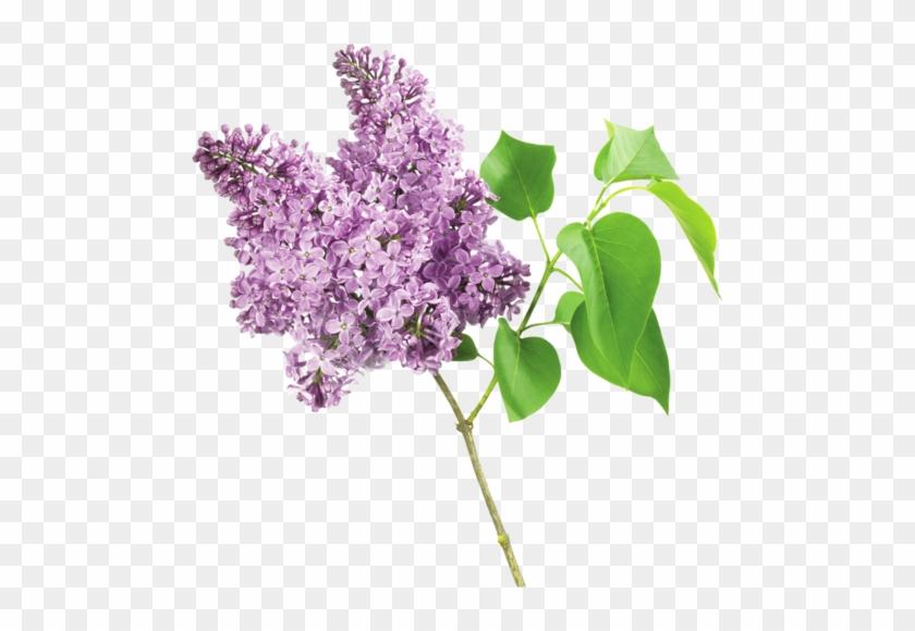 Fleurs Lilas Fleur Lilas Png Free Transparent Png Clipart