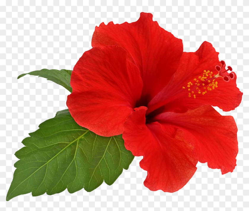 Hibiscus Flower Bloom By Hrtddy - Hibiscus Transparent #275372