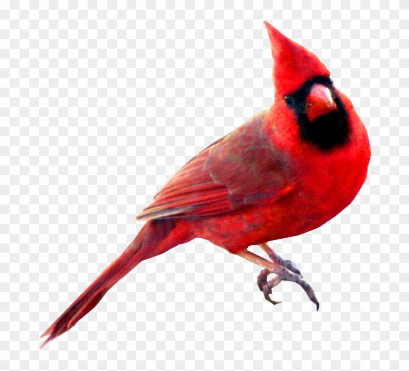 Cardinal Bird Clipart - Cardinal Bird Transparent Background #275641