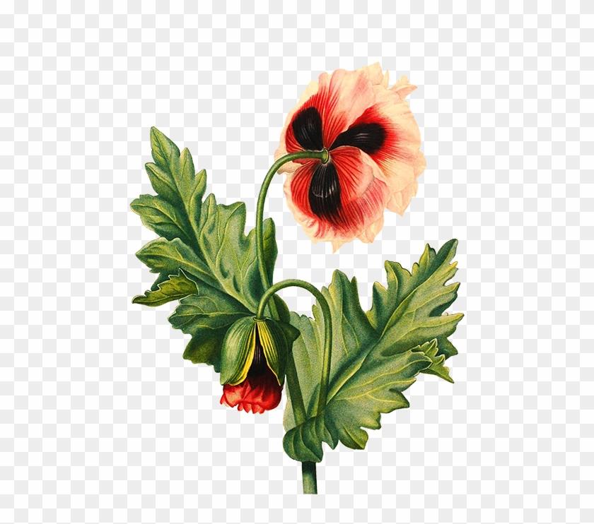 Scrapbooking Hisbiscus Flower Poppy Flower Transparent Flower