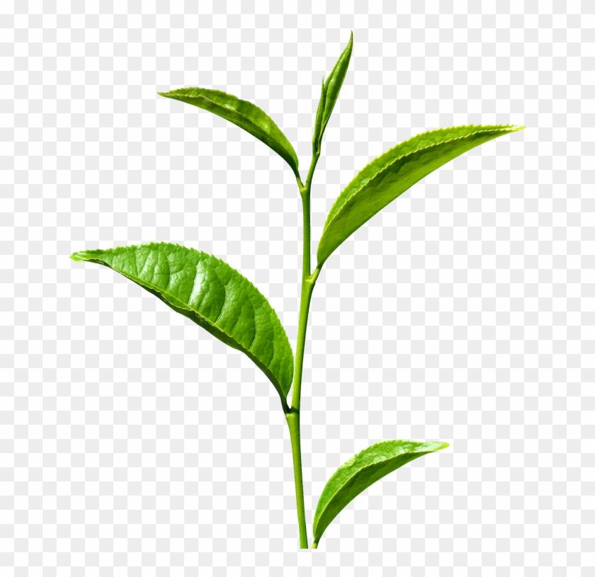 Tea Leaf Clipart Png Definition Of A Stem Free Transparent Png