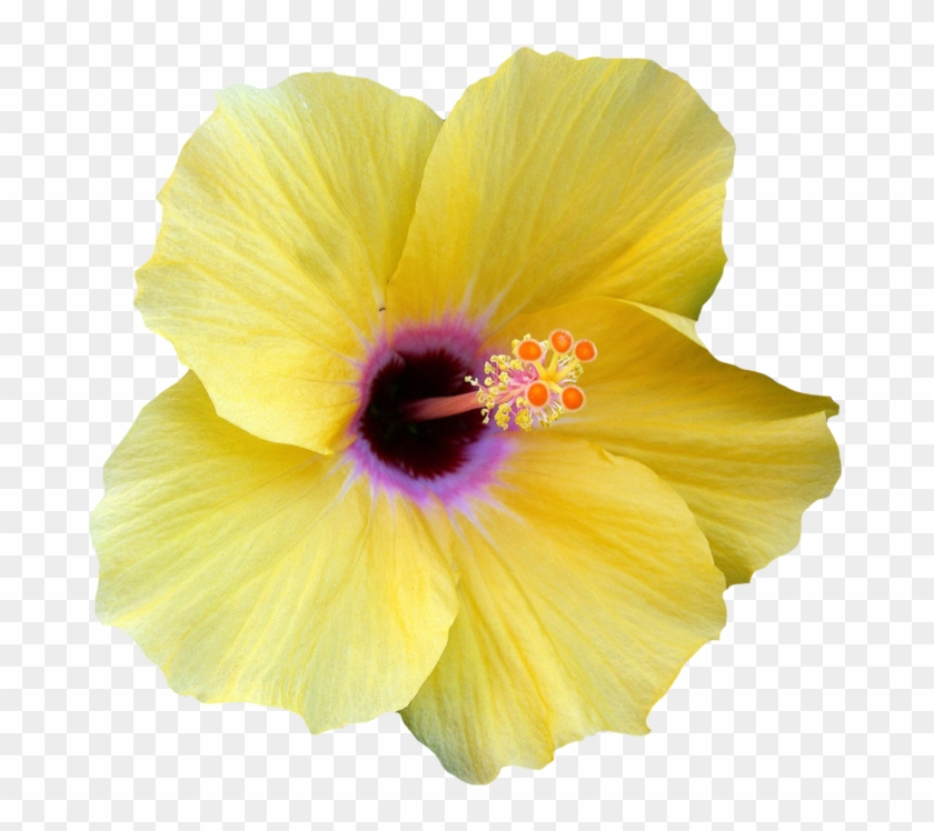 Yellow Hibiscus Flower Clipart - Hibiscus Flower Transparent Png #288057