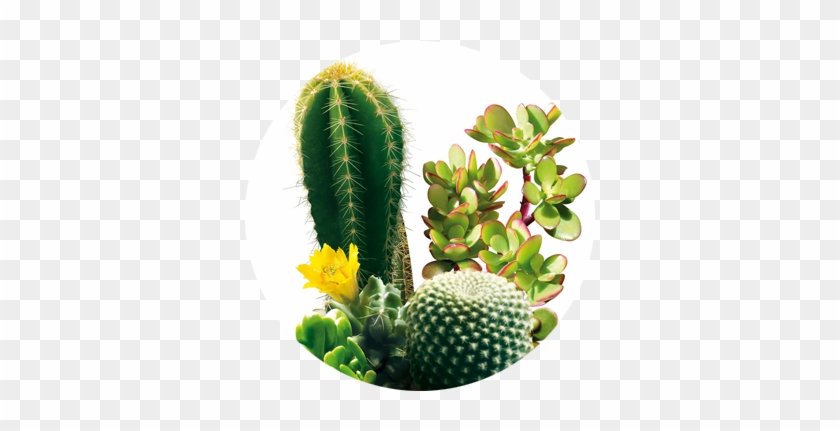 Cactus Y Suculentas - Weberocereus #288136