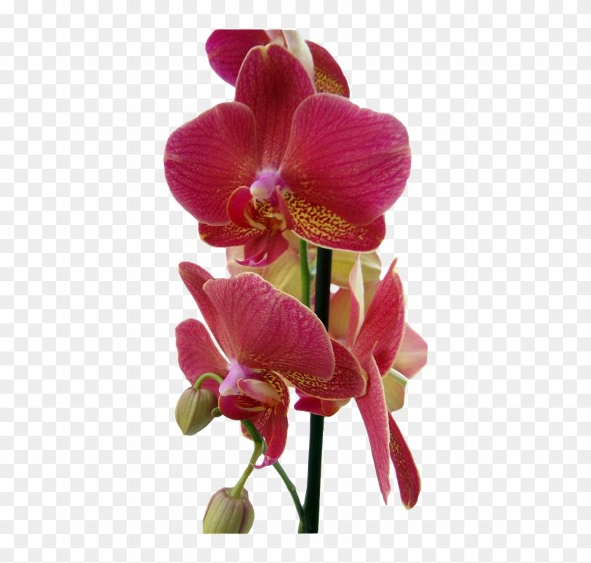 Orchideen Transparent #289169
