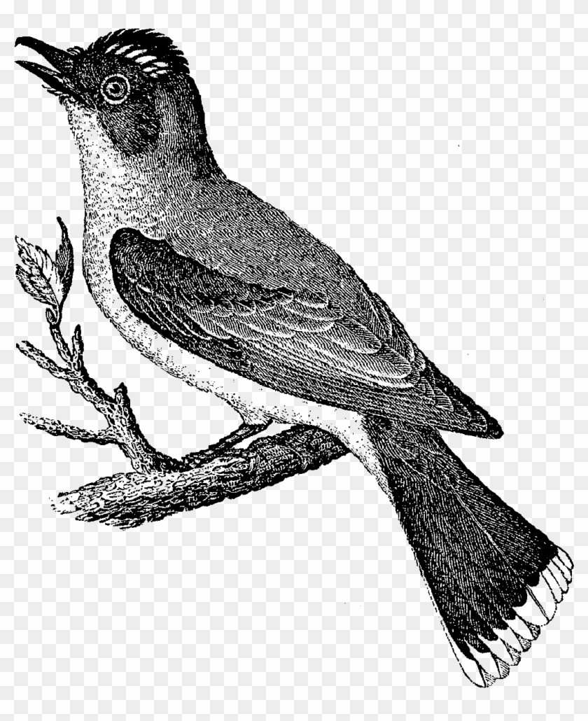 Both Of These Bird Illustrations Would Be Beautiful - Great Crested Flycatcher #289724