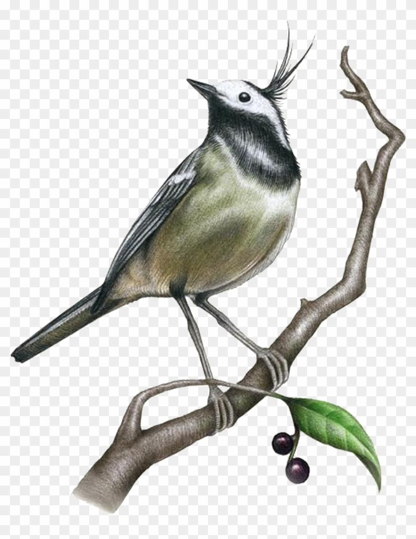 Drawing Painting Bird Illustration - Drawing Painting Bird Illustration #289851