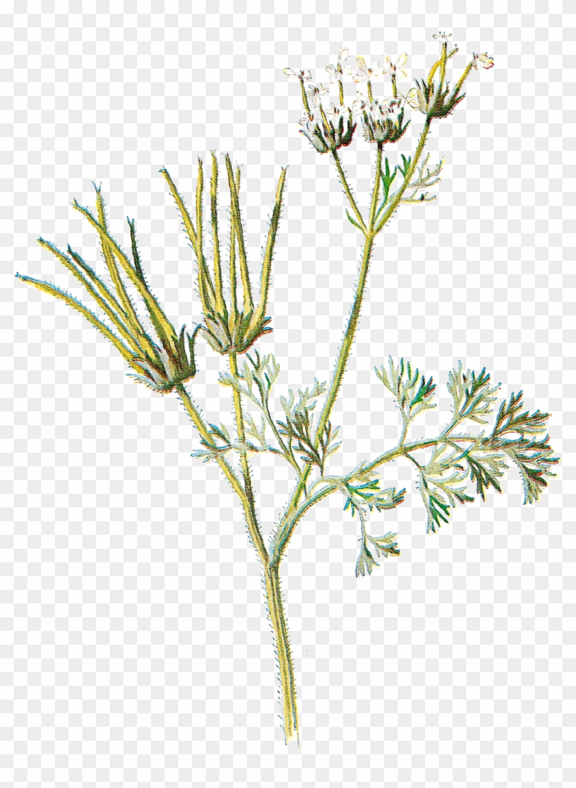 Wildflower Clipart Different Flower - Antique Print Of Shepherds Needle Editorial Wild Flower #289782