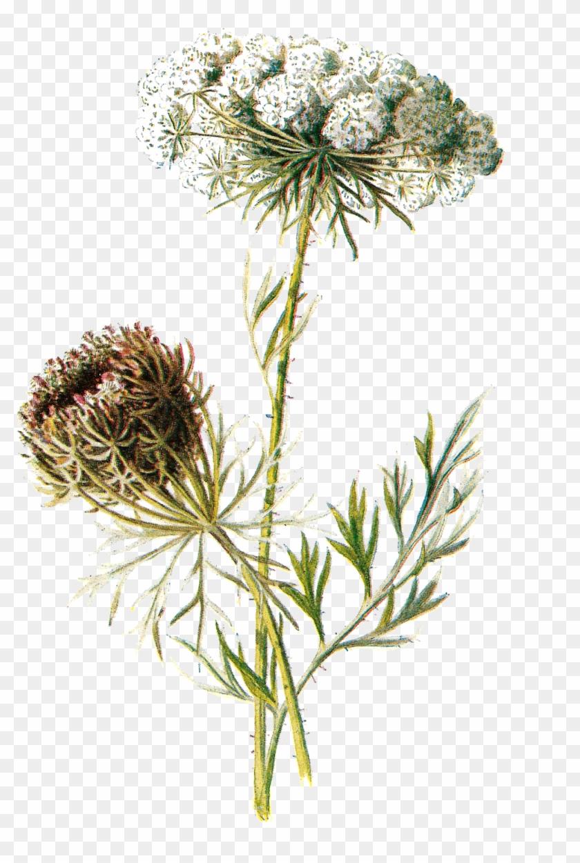 Vintage Clipart Wildflower - Botanical Illustration Transparent Background #289809