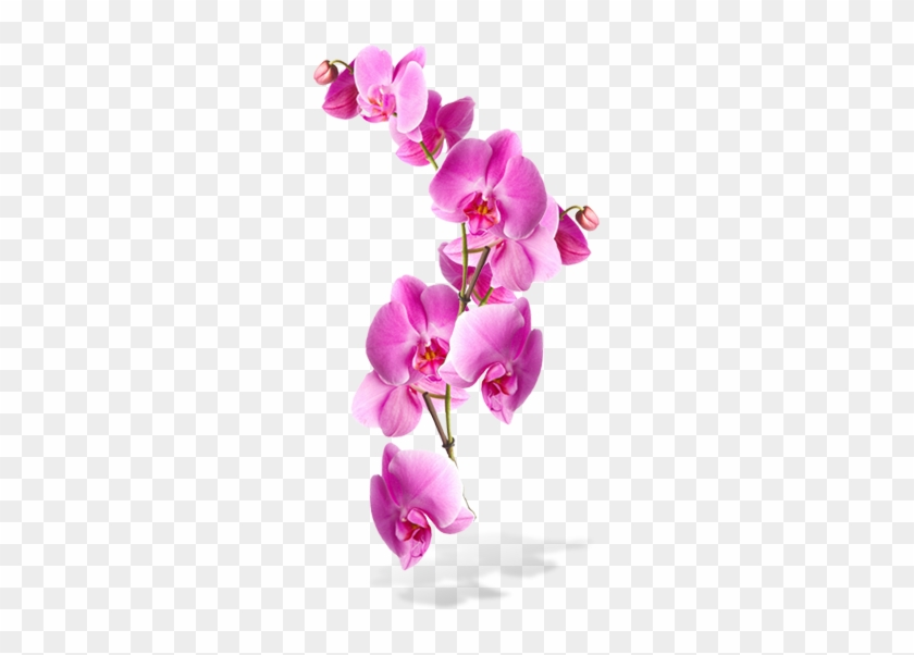 Flowers Png - Transparent Background Pink Orchids Png #289849