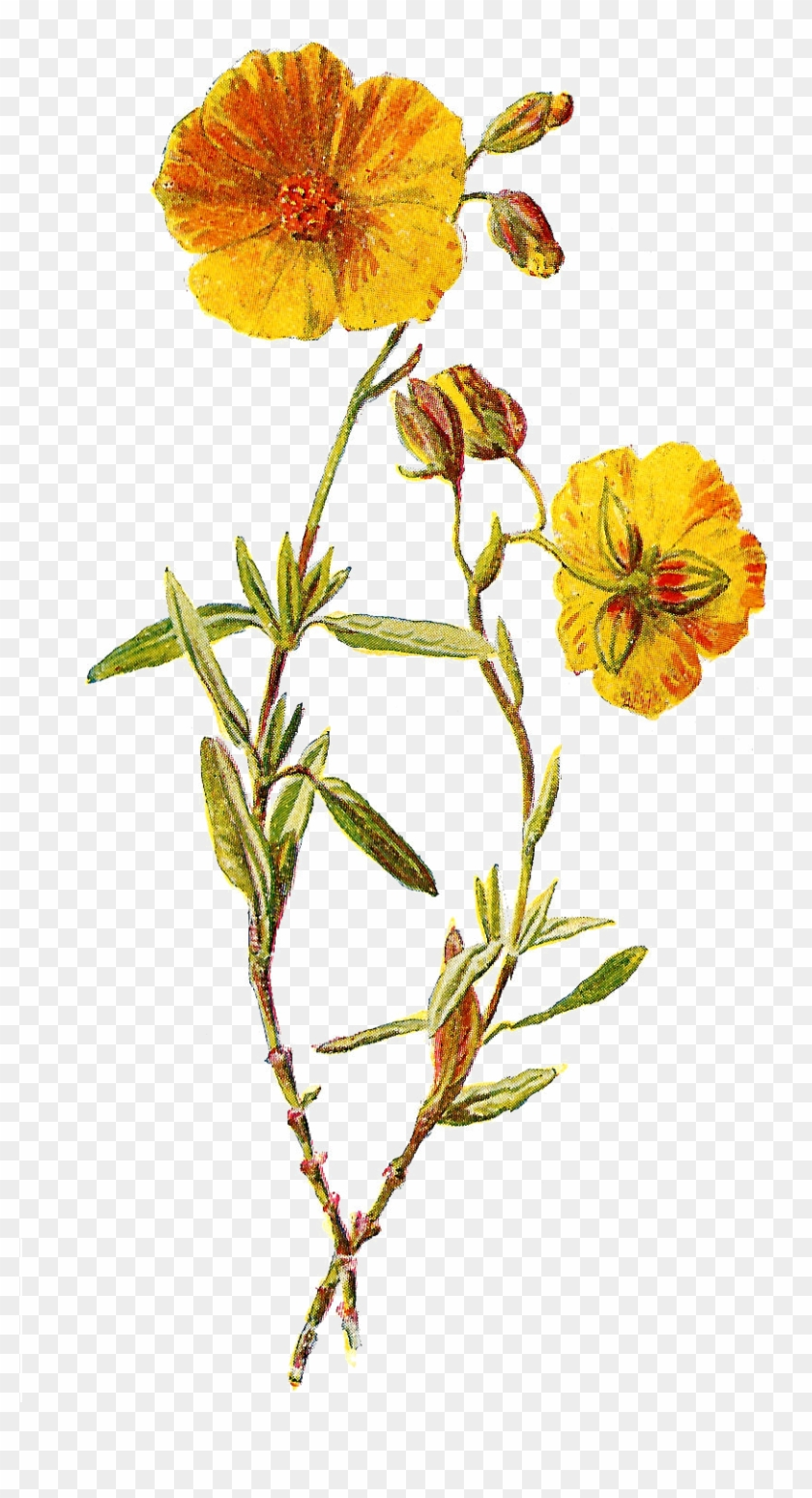These Two Lovely Wild Flower Illustrations Are From - Yellow Flowers Illustration Png #289869