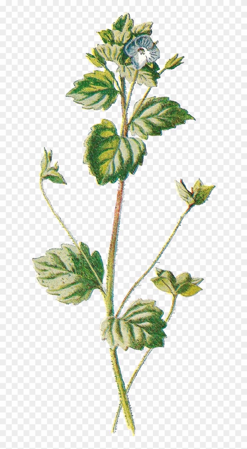 Wildflower Clipart Botanical Illustration - Botanical Vintage Illustrations Png #289886
