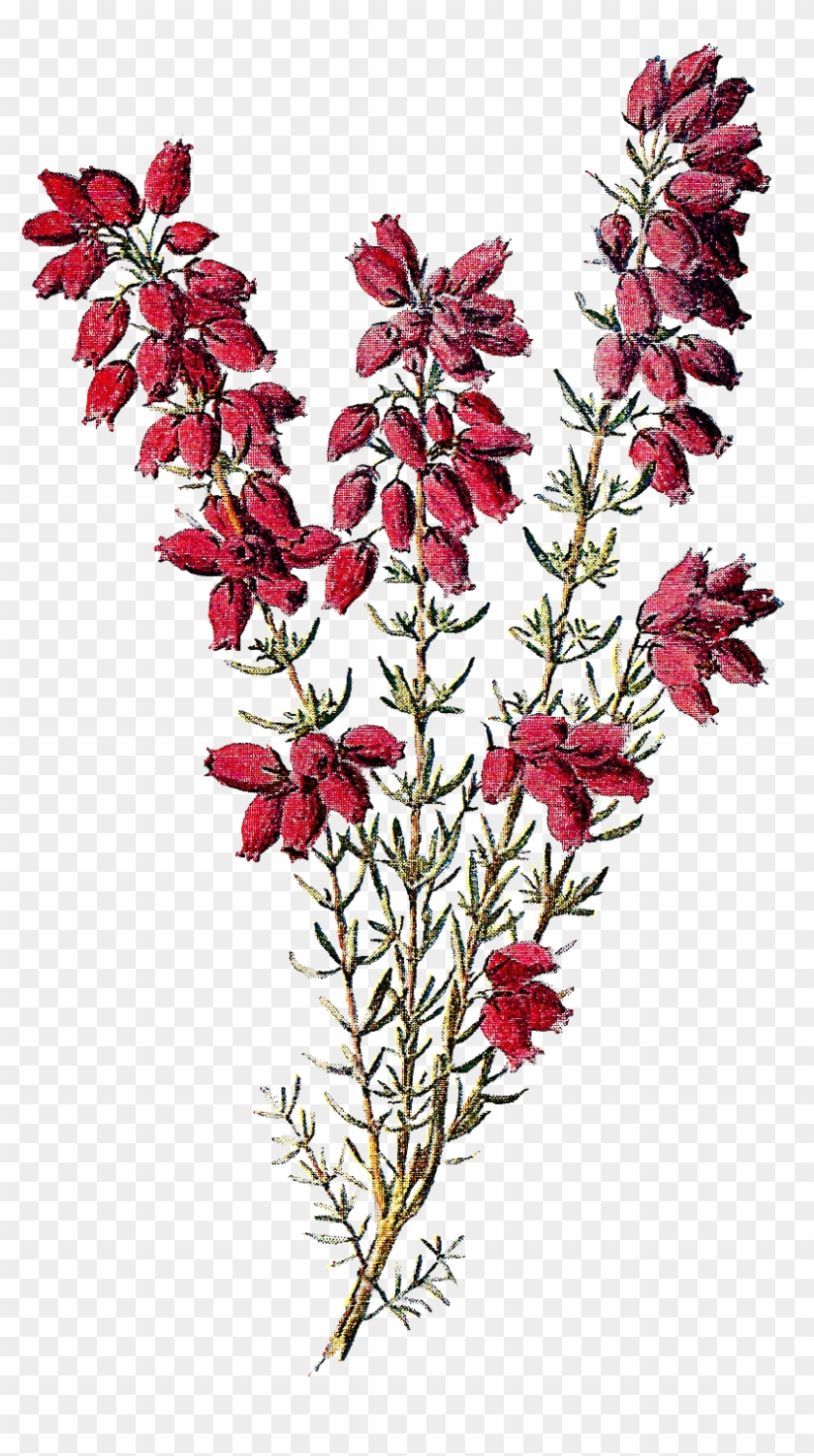 Stock Wildflower Image Heather - Heather Flower Png #290321