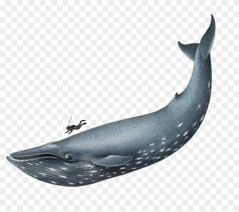 Humpback Whale Clip Art - Blue Whale Png #290633