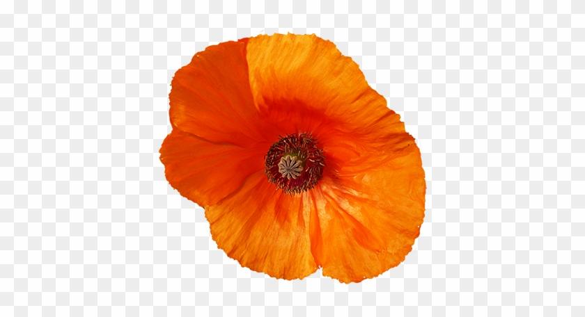 Red Poppy Flower Clipart, Red Poppy Flower Graphics - Corn Poppy #291200