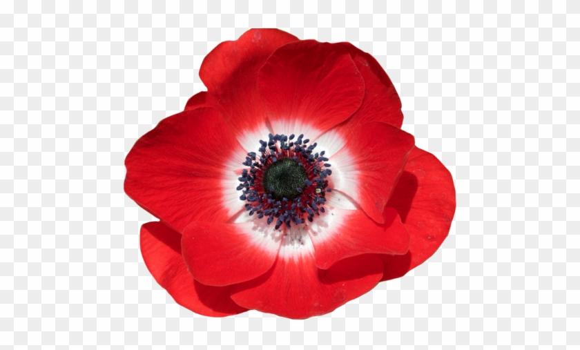 """poppy Anemone - Poppy With Transparent Background #291236"