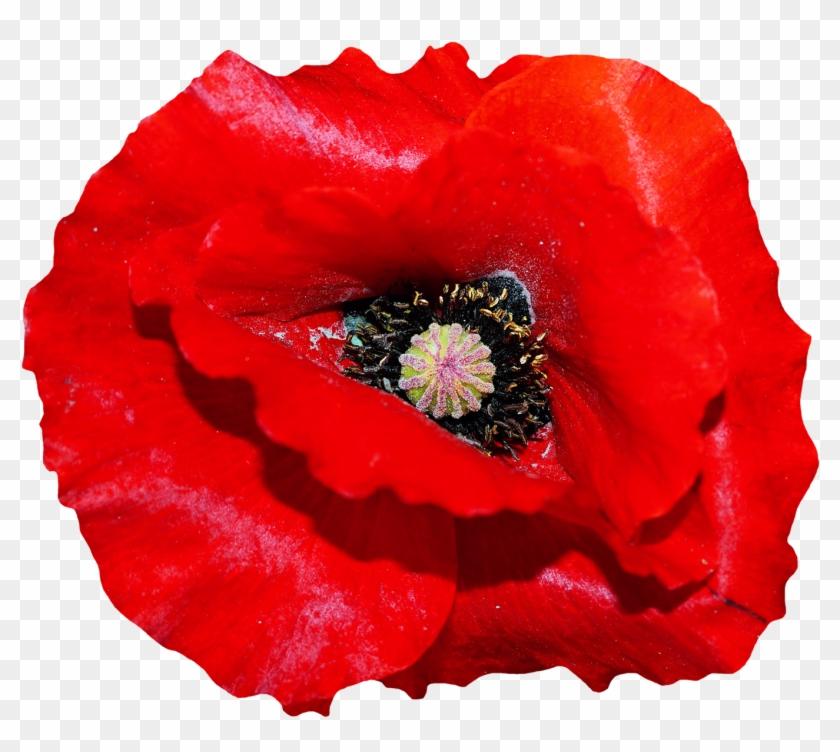 Poppy Flower Png Image - Poppy Flower Transparent #291305