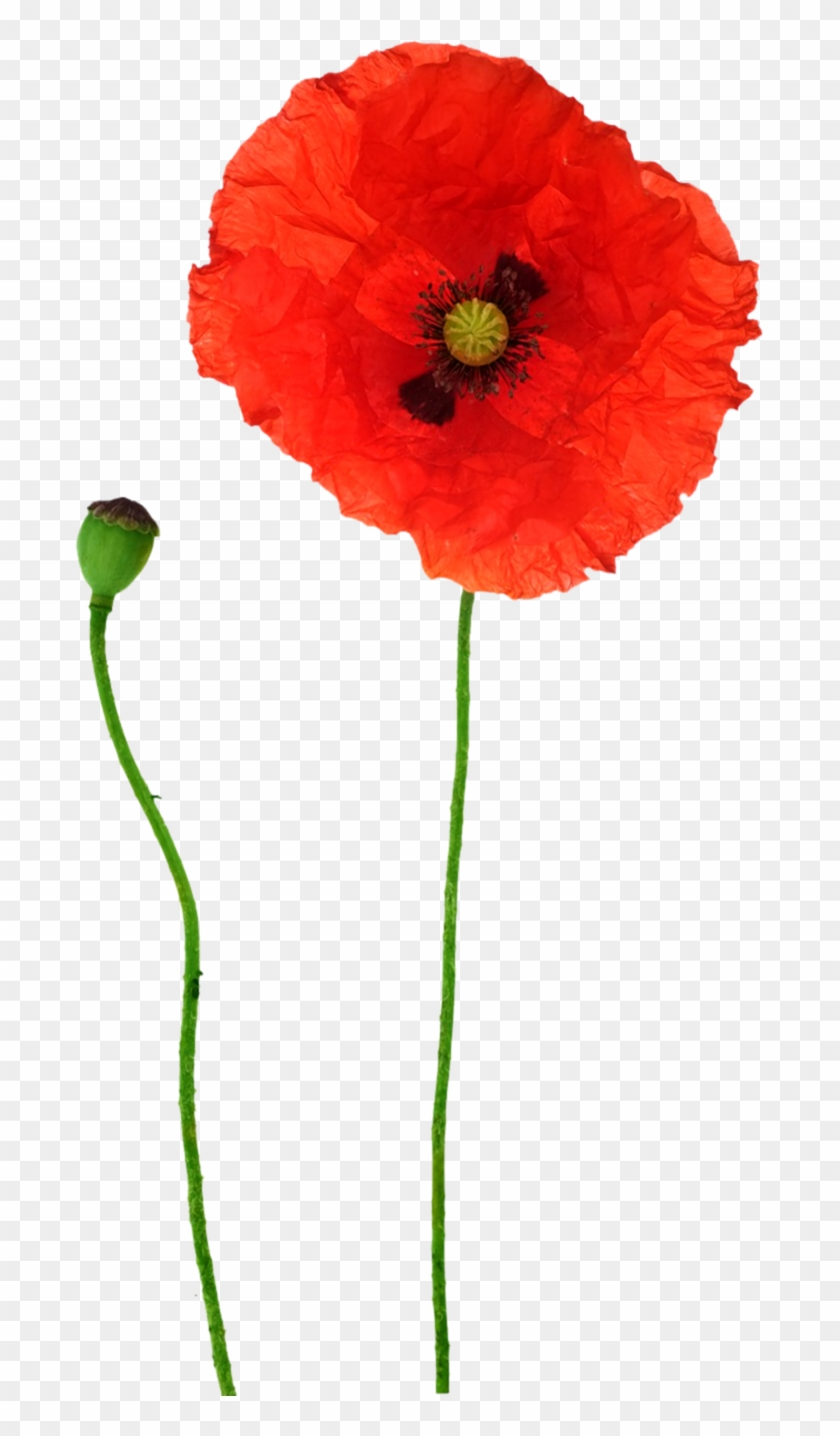 Opium Poppy Flower Red Poppy Free Transparent Png Clipart Images