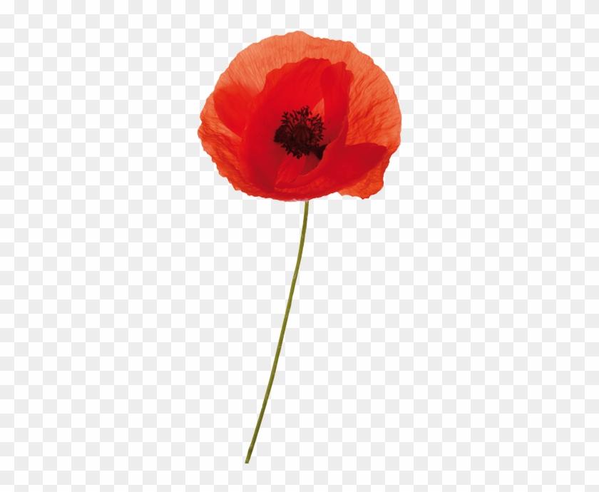 The - Anzac Poppy Transparent #291418