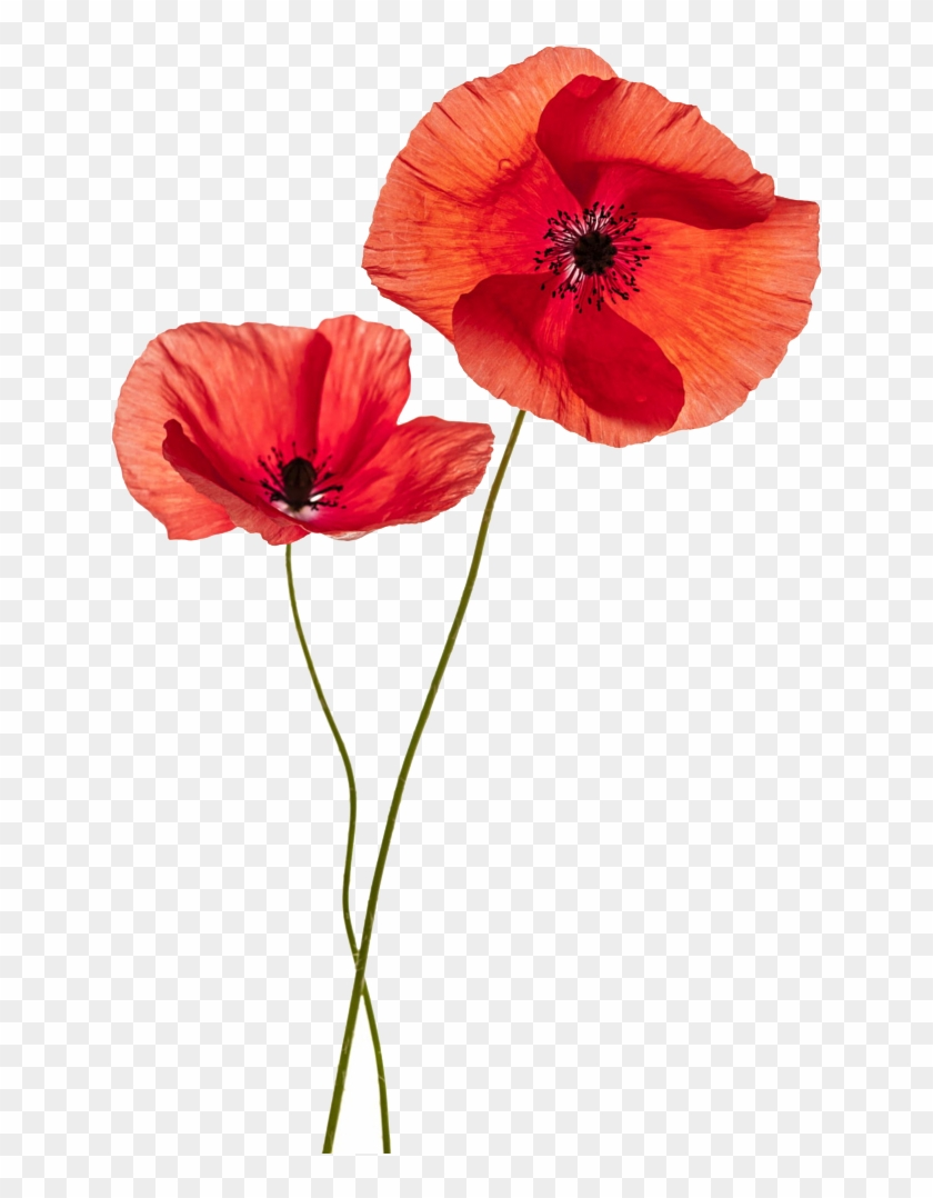 Common Poppy Flower Stock Photography Remembrance Poppy - Two Poppy Flower #291472