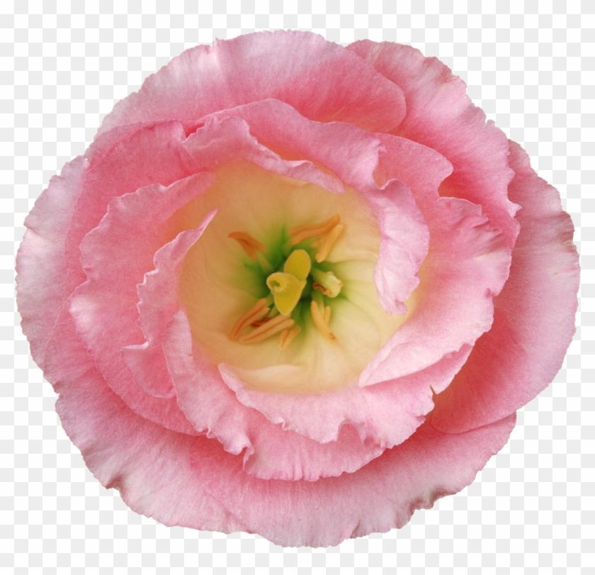 Flower Poppy Hibiscus - Flower Poppy Hibiscus #292027