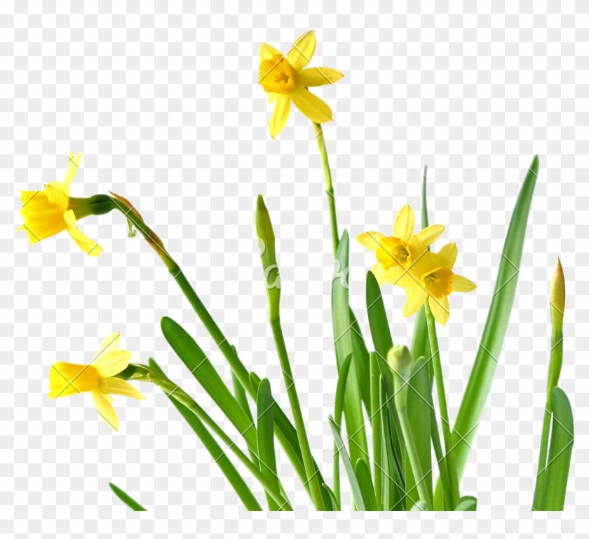 Daffodils - Daffodil #291622