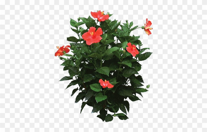 Tropical Flower Png Tropical Plant Settings - Hibiscus Plant Png #291624
