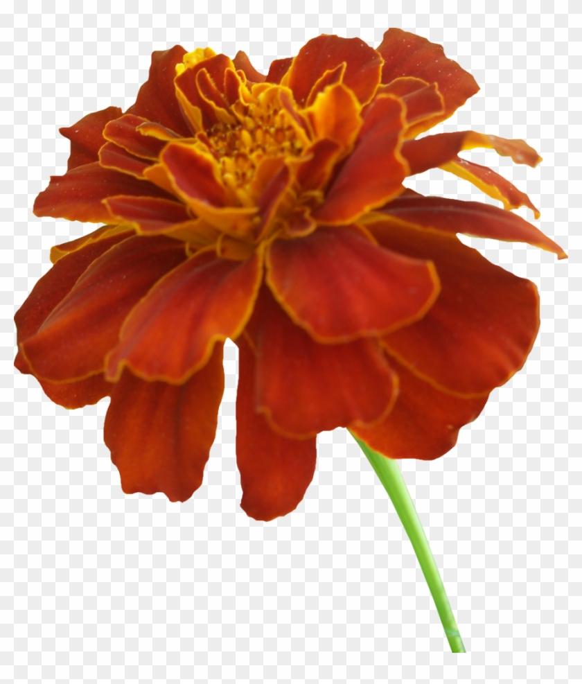 Orange Flower Clipart Marigold - Marigold Clipart #291769