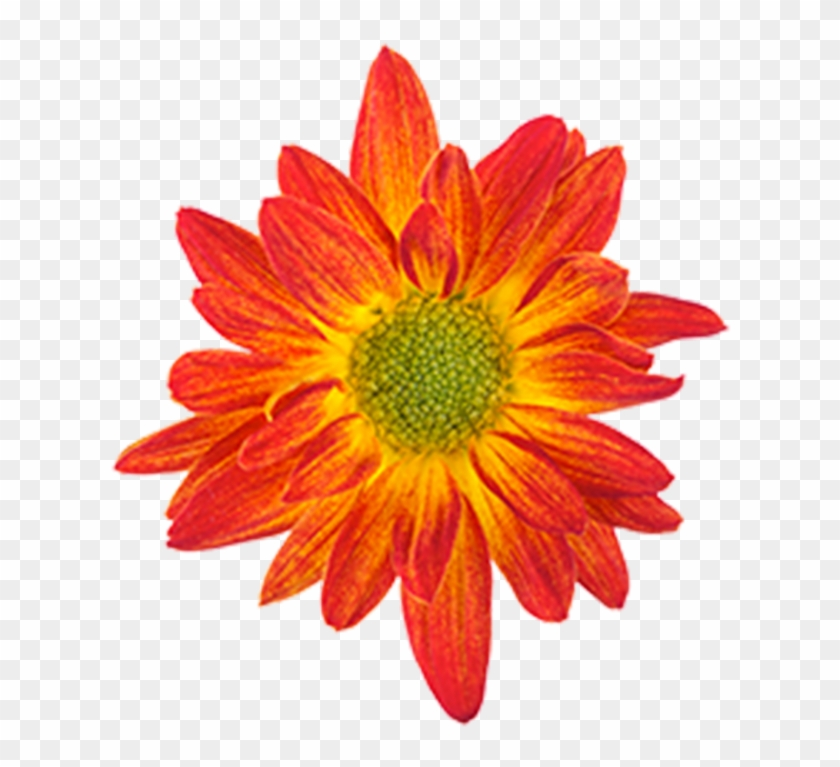 Drawing Orange Flower Color - African Daisies #291774