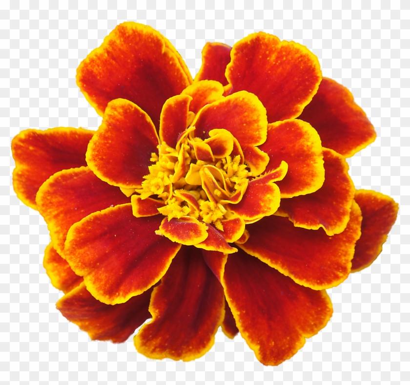 Orange Flower Clipart Marigold - Cranberry Lane Skin Lotion Herb Blend #291787