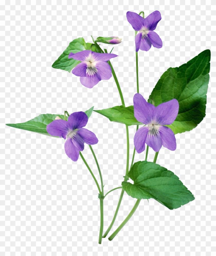 Violet Clip Art - Violet Clip Art #291959