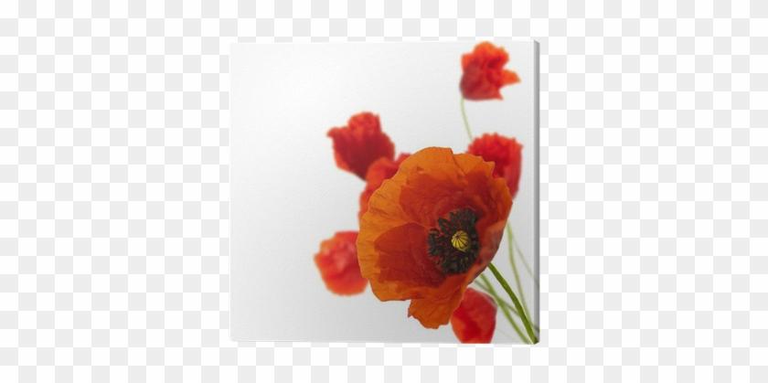 Floral Design, Decoration Flowers, Poppies Border - Red Poppy In Corner #292050