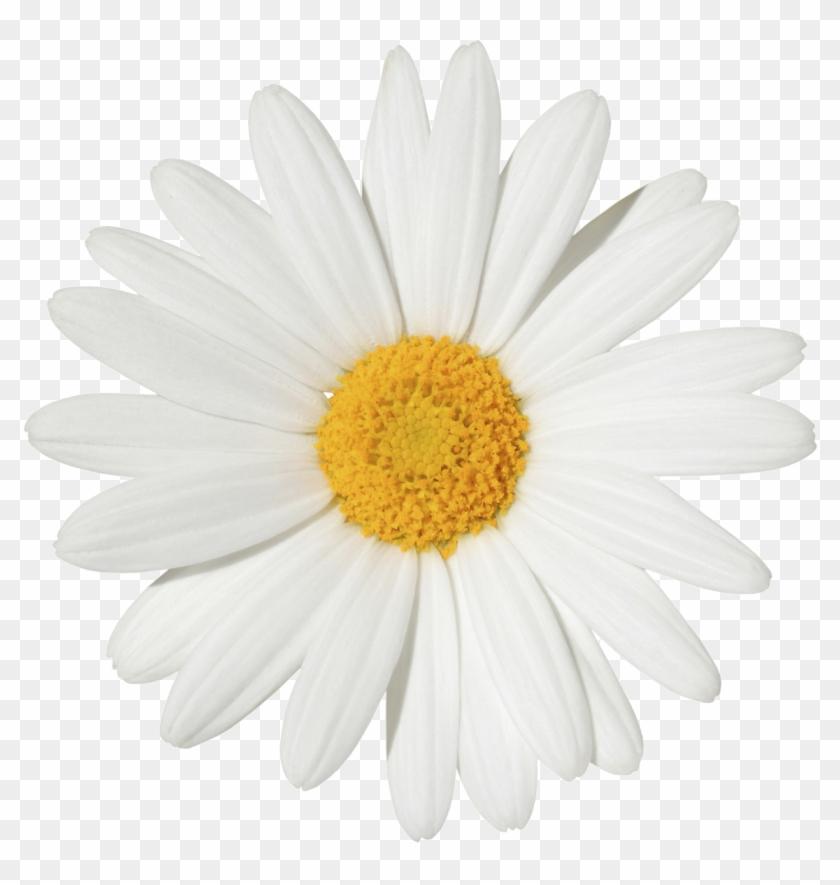 Common Daisy Stock Photography Transvaal Daisy Flower - Daisy Clipart #292060