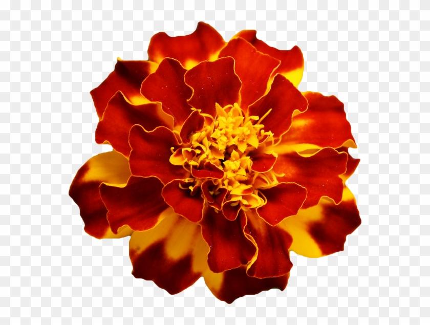 Marigold Flower Tattoo Drawing - Orange Flower Transparent Background #292077