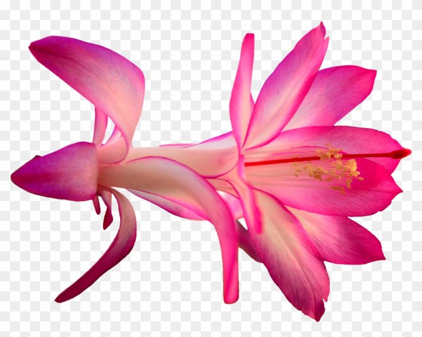Pink Cartoon Flowers 19, - Cactus Flower Png #292110