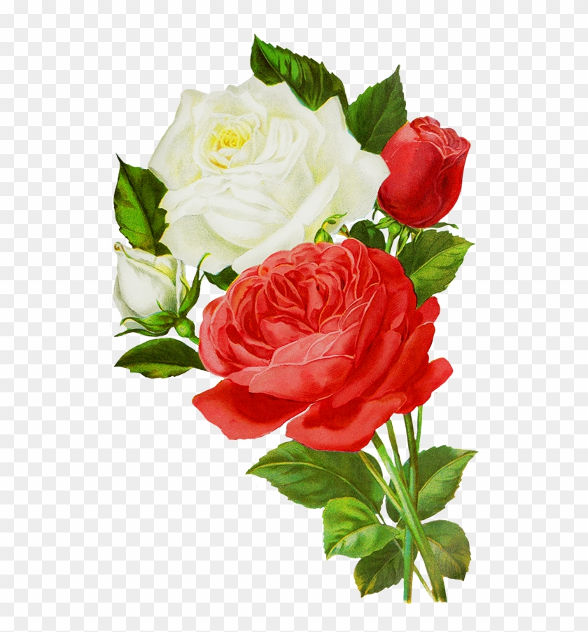Red Roses Drawing, Red And White Roses Drawings - White And Red Rose Flowers #292132